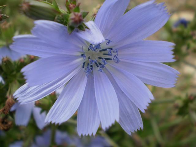 identifier fleur sauvage bleue